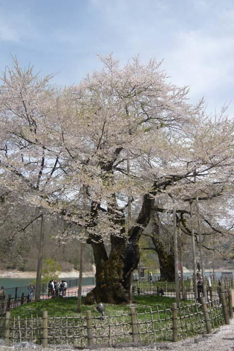 ゆらん+花見(2) 荘川桜